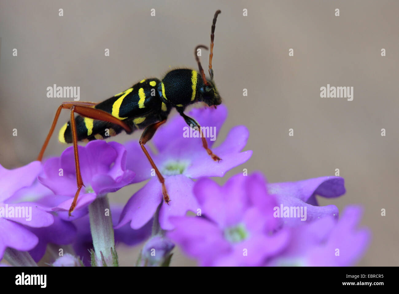 wasp beetle (Clytus arietis), sitting on pink flowers, Germany - Stock Image