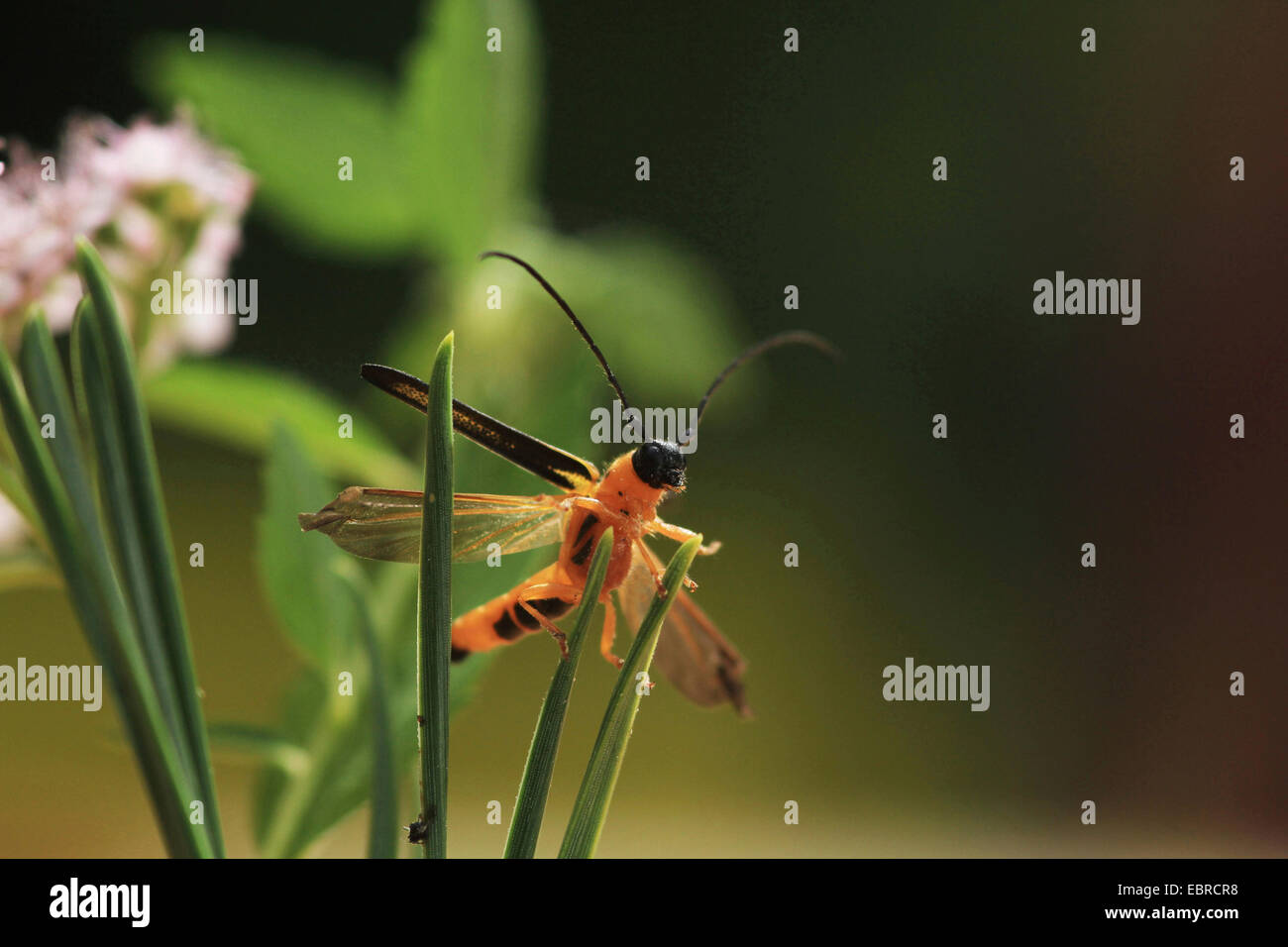 Cane borer (Oberea pupillata), sitting at leaves, Russia Stock Photo