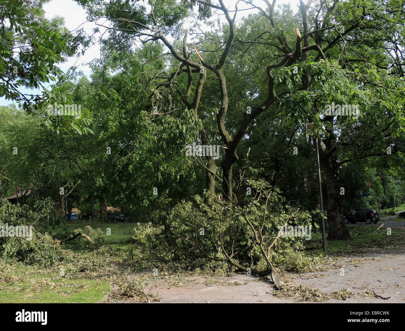 Yellow Wood (Cladrastis lutea), ravaged city park of Bochum by fallen trees and broken branches, storm front Ela - Stock Image