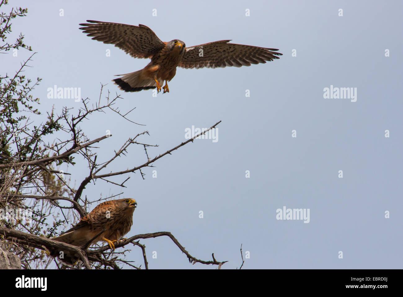 European Kestrel, Eurasian Kestrel, Old World Kestrel, Common Kestrel (Falco tinnunculus), couple at its outlook, - Stock Image