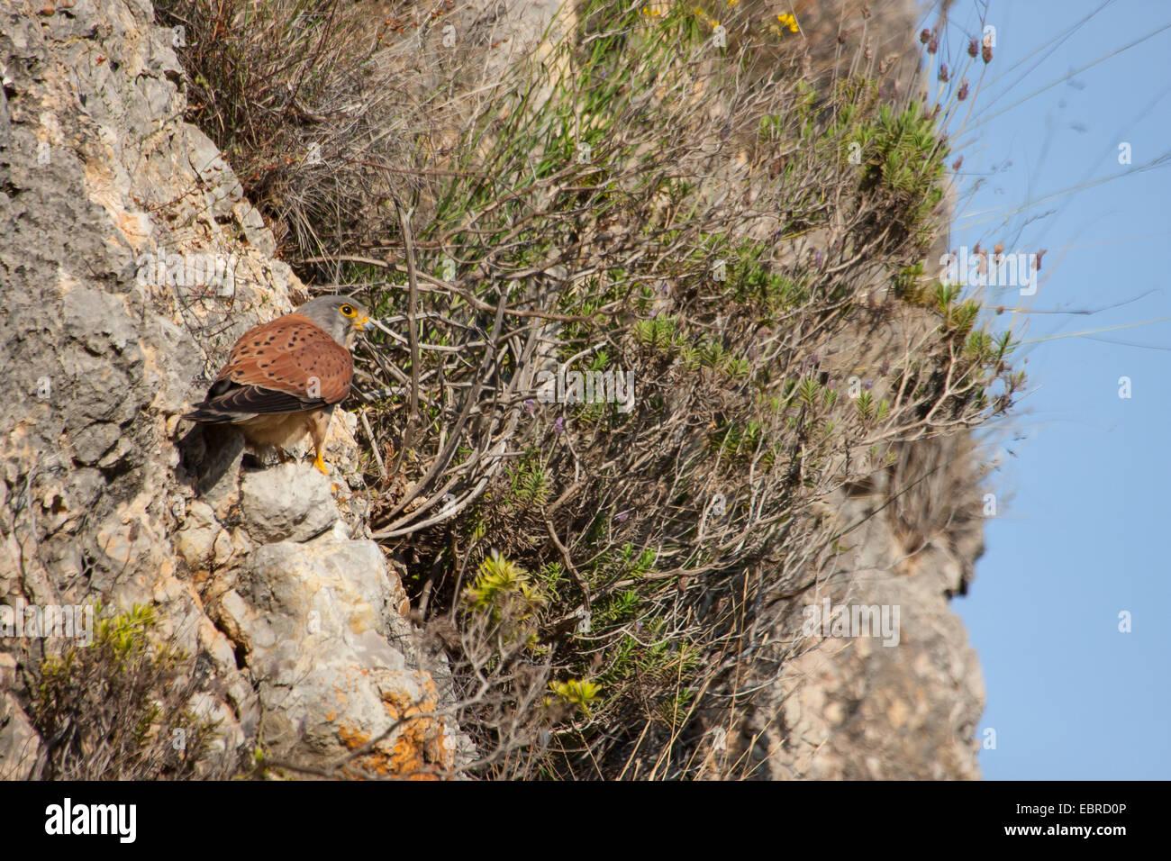 European Kestrel, Eurasian Kestrel, Old World Kestrel, Common Kestrel (Falco tinnunculus), sits on a ledge, Spain, - Stock Image