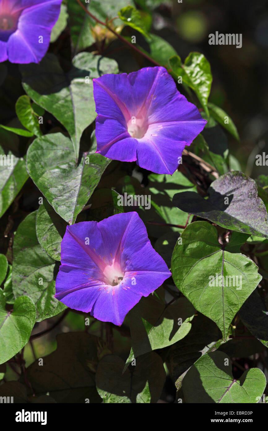 Blue dawn flower ipomoea indica stock photos blue dawn flower blue morning glory oceanblue morning glory koali awa blue dawn flower ipomoea izmirmasajfo
