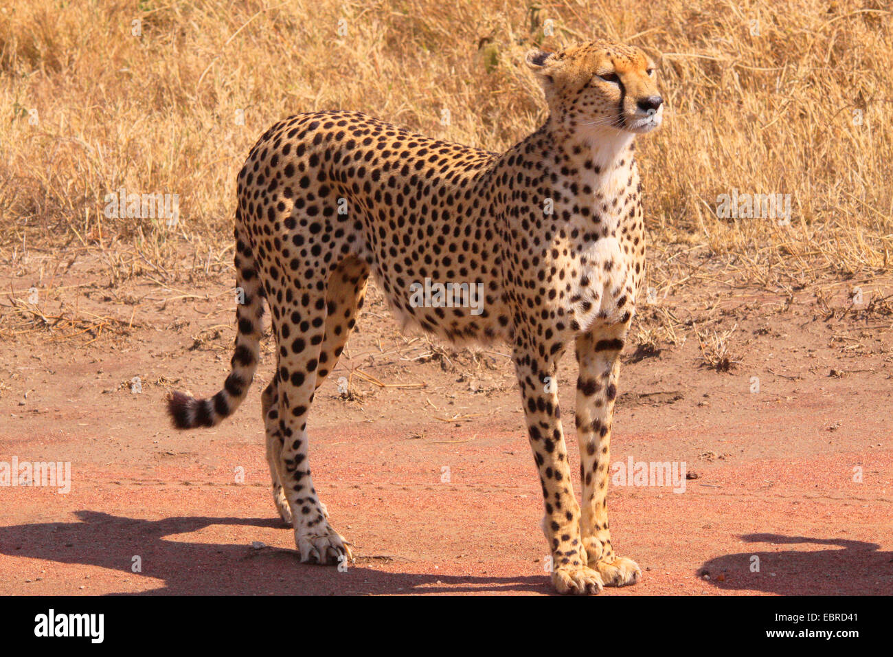 cheetah (Acinonyx jubatus), on the feed in savanna, Tanzania, Serengeti - Stock Image