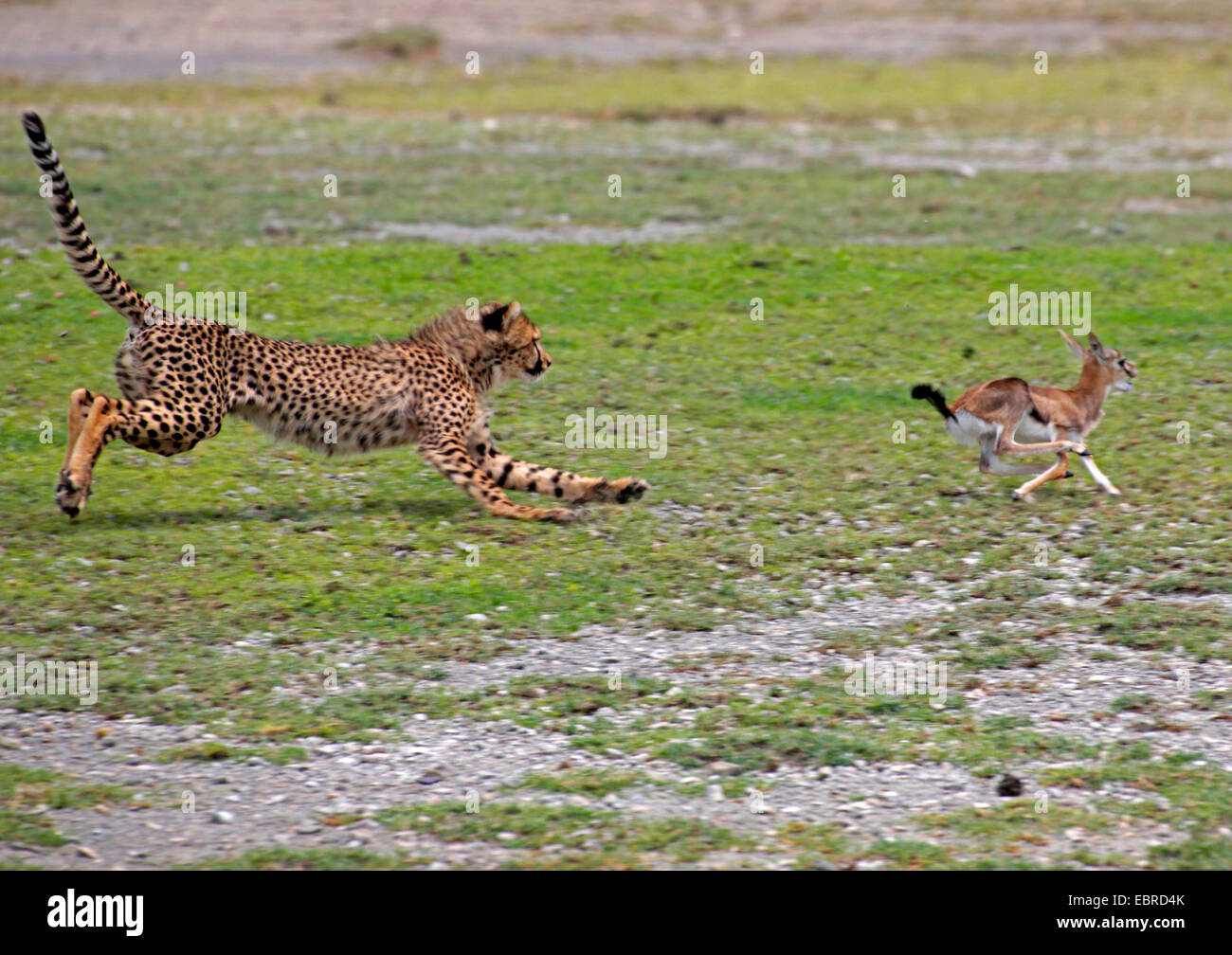 cheetah (Acinonyx jubatus), young animal hunting a young gazelle, Tanzania, Serengeti National Park - Stock Image