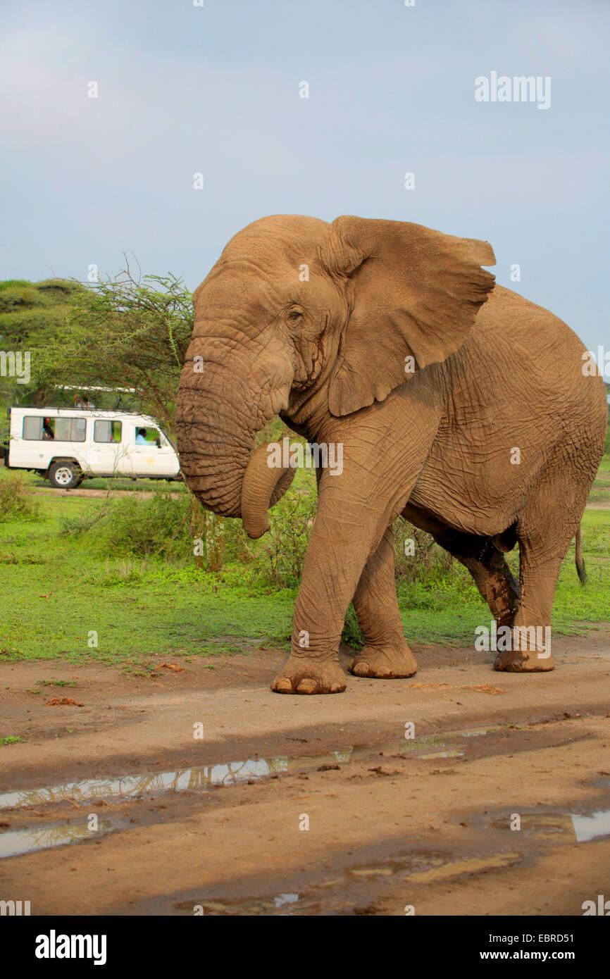 African elephant (Loxodonta africana), bull elephant without tusks in the Serengeti, Tanzania, Serengeti National - Stock Image