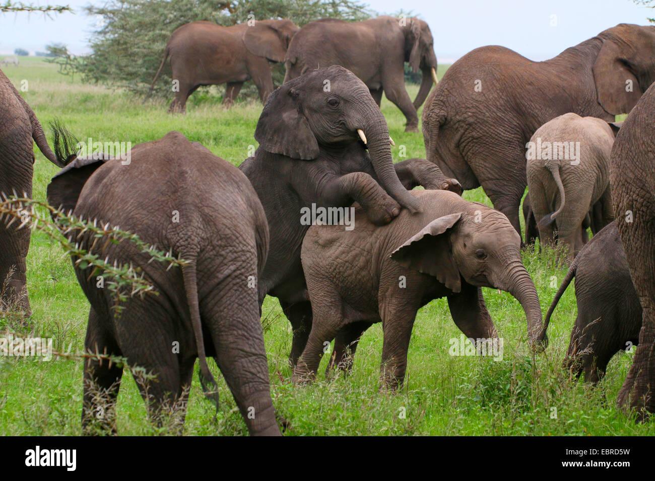 African elephant (Loxodonta africana), romping infants in a herd of elephants, Tanzania, Serengeti National Park - Stock Image