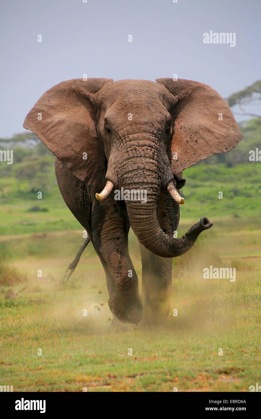 African elephant (Loxodonta africana), bull elephant attacking, Tanzania, Serengeti National Park - Stock Image