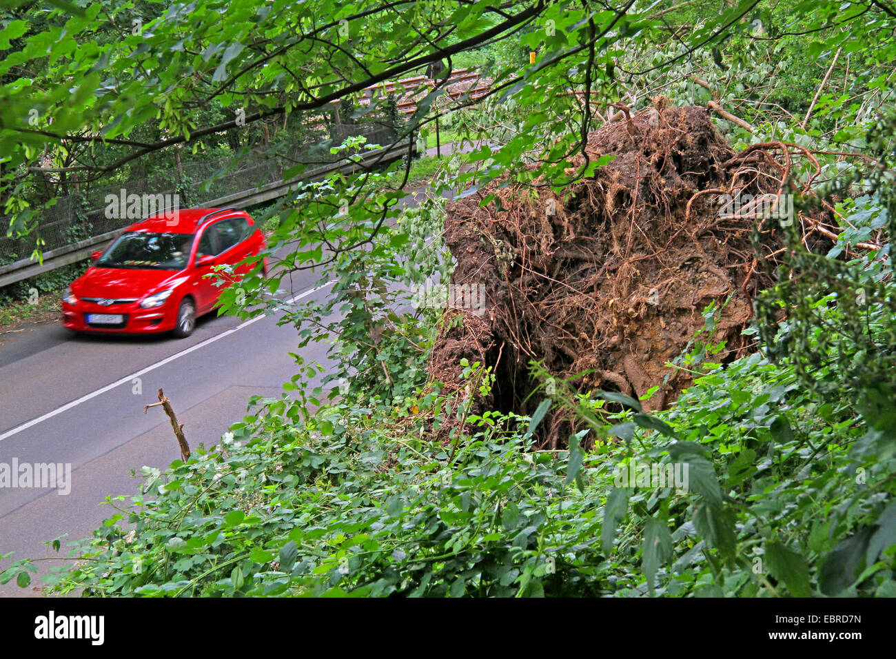 disrooted tree at a slope above a road after storm front Ela at 2014-06-09, Germany, North Rhine-Westphalia, Ruhr - Stock Image