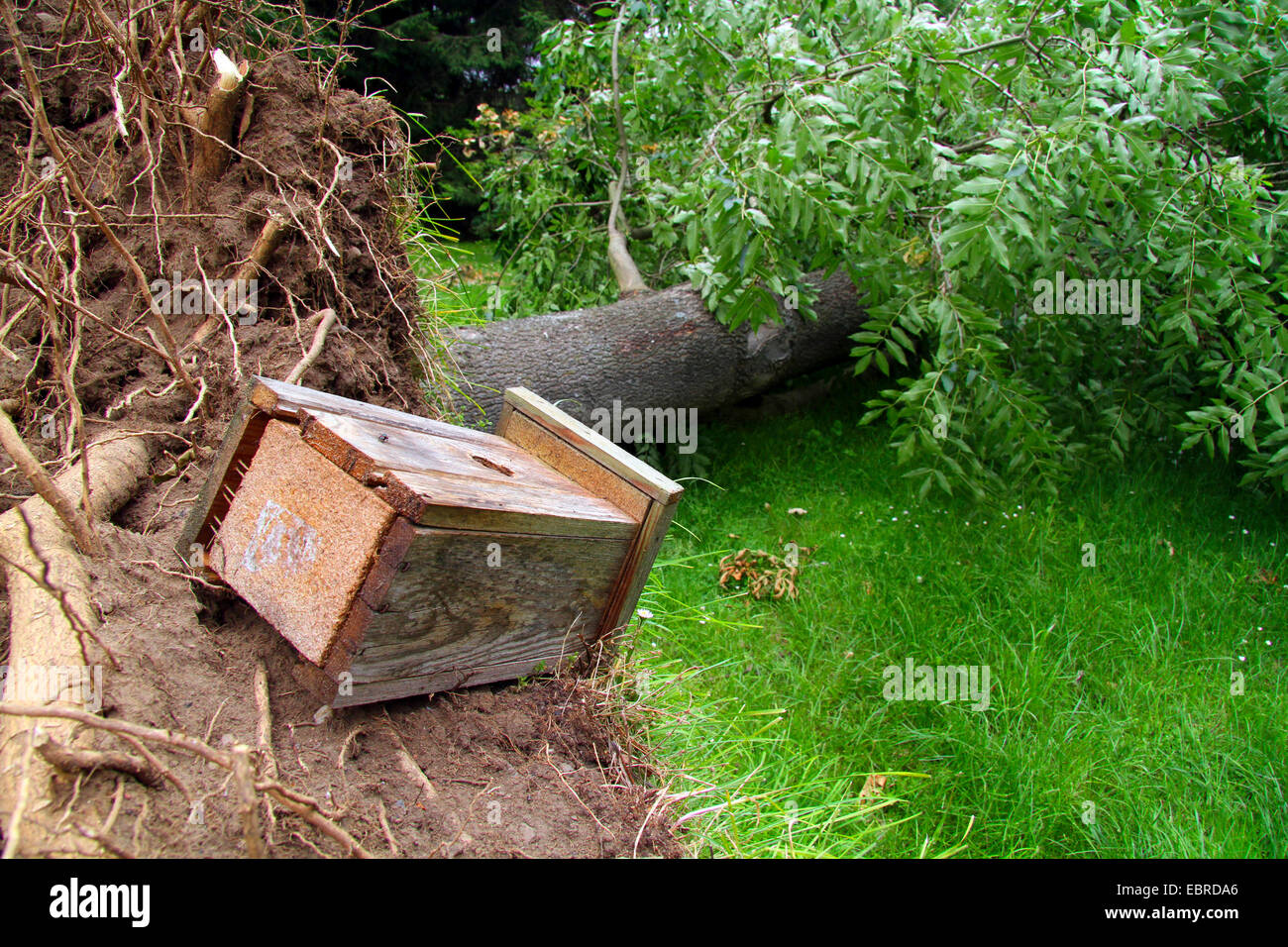 disrooted ash with nest box, storm front Ela at 2014-06-09, Germany, North Rhine-Westphalia, Ruhr Area, Essen - Stock Image