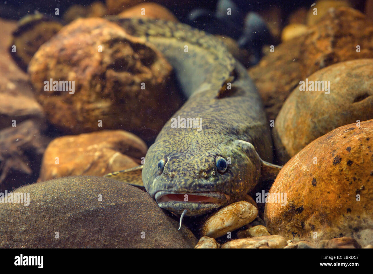 burbot (Lota lota), on pebbles, Germany - Stock Image