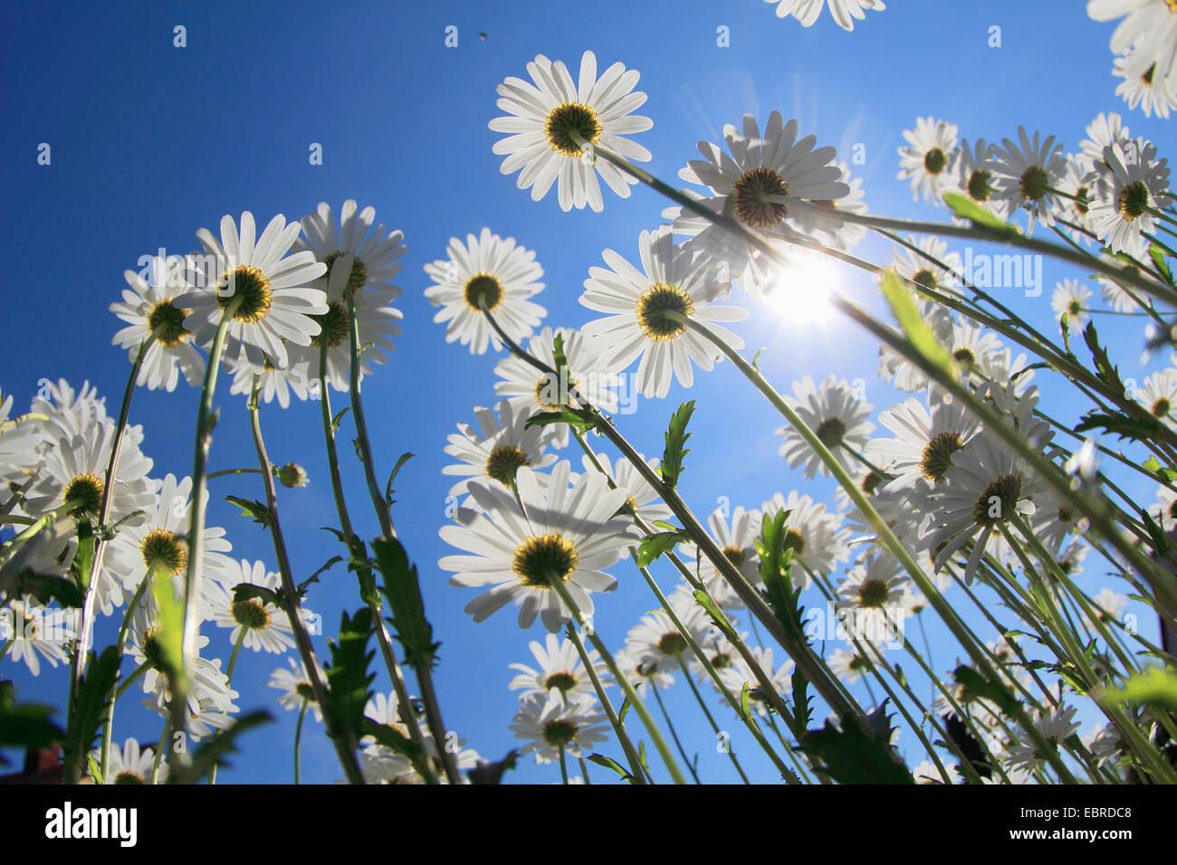 shasta daisy (Leucanthemum maximum), low angle shot of a blooming plants - Stock Image