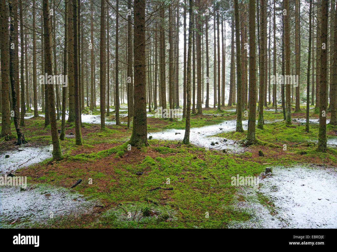 spruce (Picea spec.), view in a spruce forest with mossy forest ground and a little bit fresh snow, Germany, Bavaria, Stock Photo