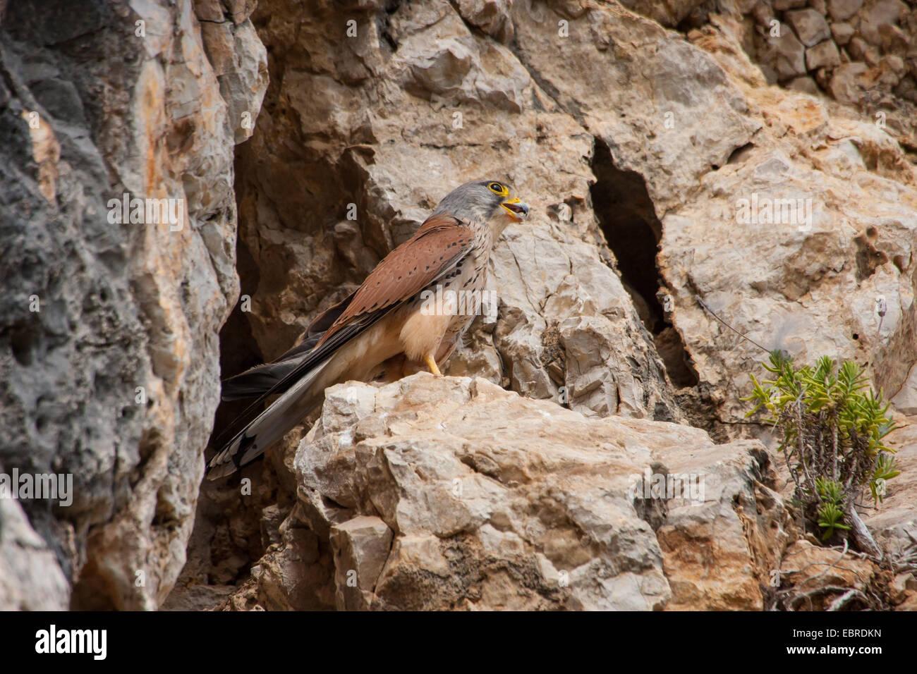 European Kestrel, Eurasian Kestrel, Old World Kestrel, Common Kestrel (Falco tinnunculus), male sits on a ledge, - Stock Image