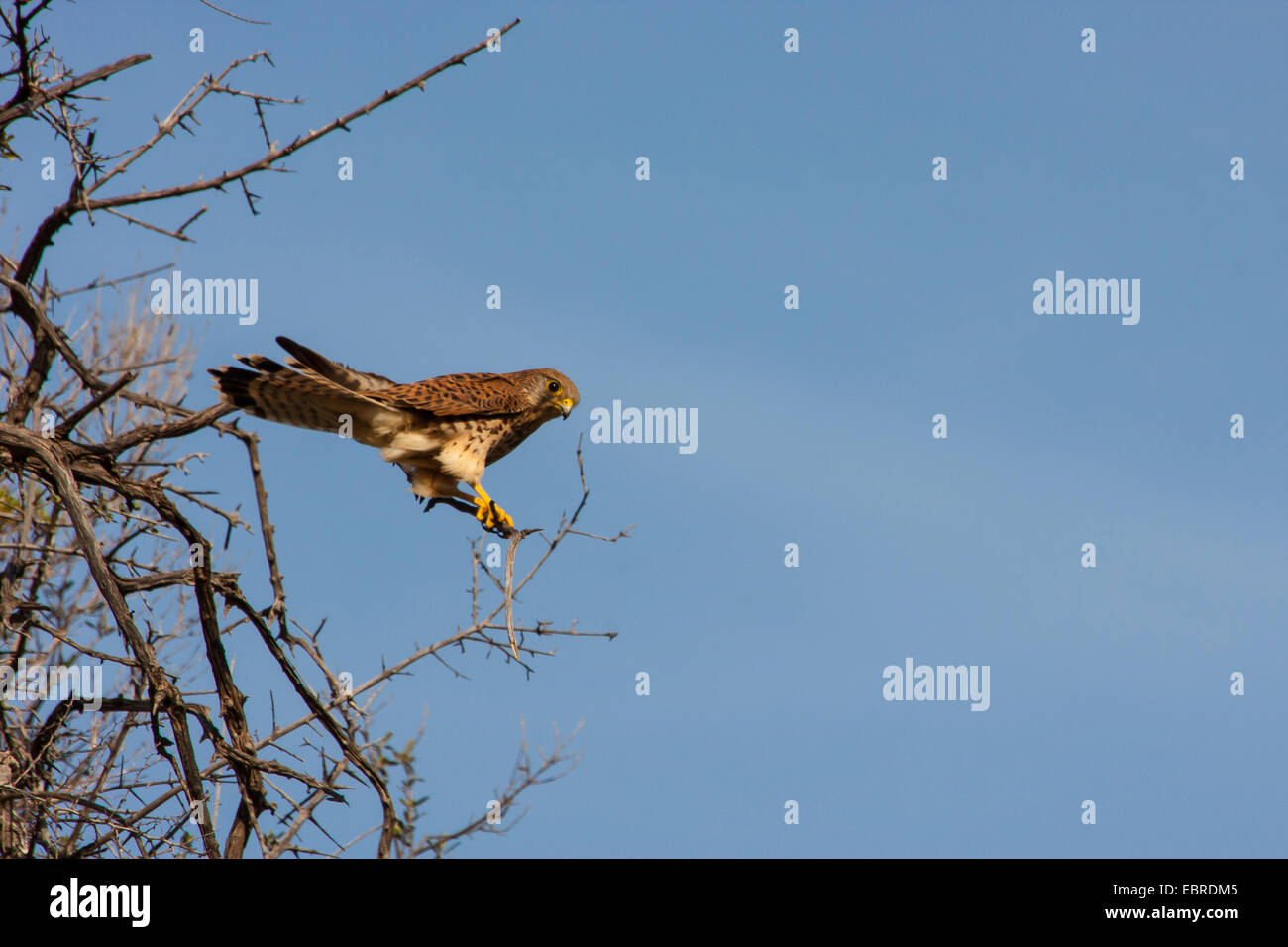 European Kestrel, Eurasian Kestrel, Old World Kestrel, Common Kestrel (Falco tinnunculus), sits on an outlook, Spain, - Stock Image