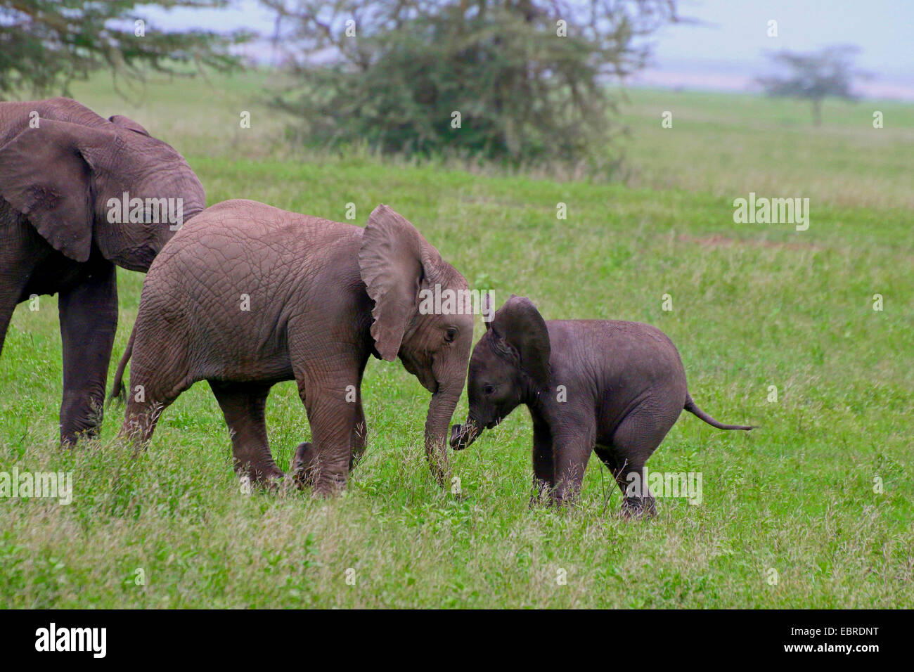 African elephant (Loxodonta africana), playing infants, Tanzania, Serengeti National Park - Stock Image