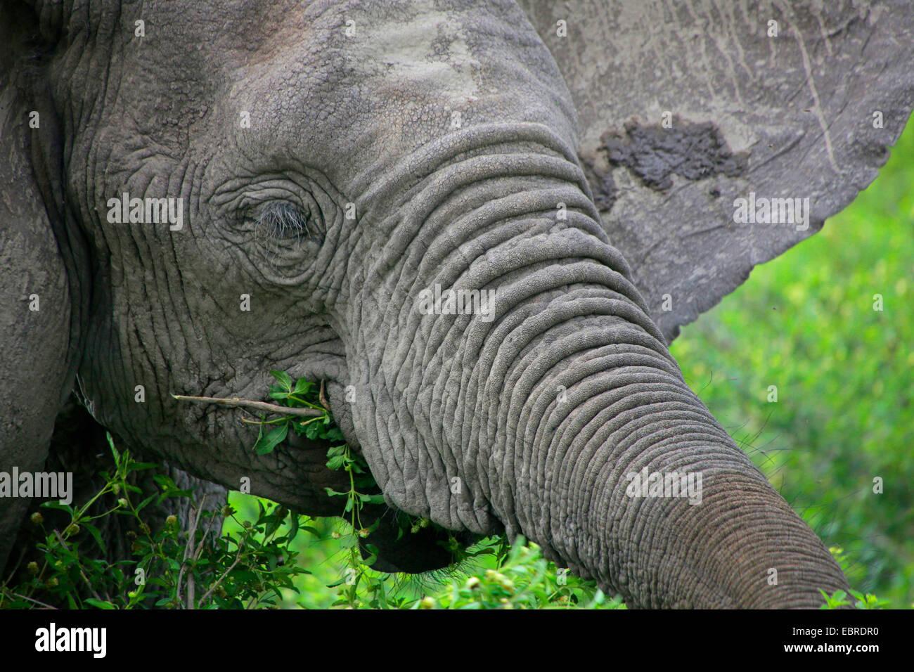 African elephant (Loxodonta africana), portrait, feeding, Tanzania, Serengeti National Park Stock Photo
