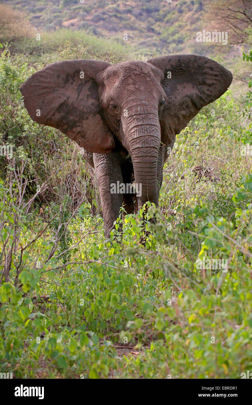 African elephant (Loxodonta africana), eating elephant, Tanzania, Serengeti National Park - Stock Image