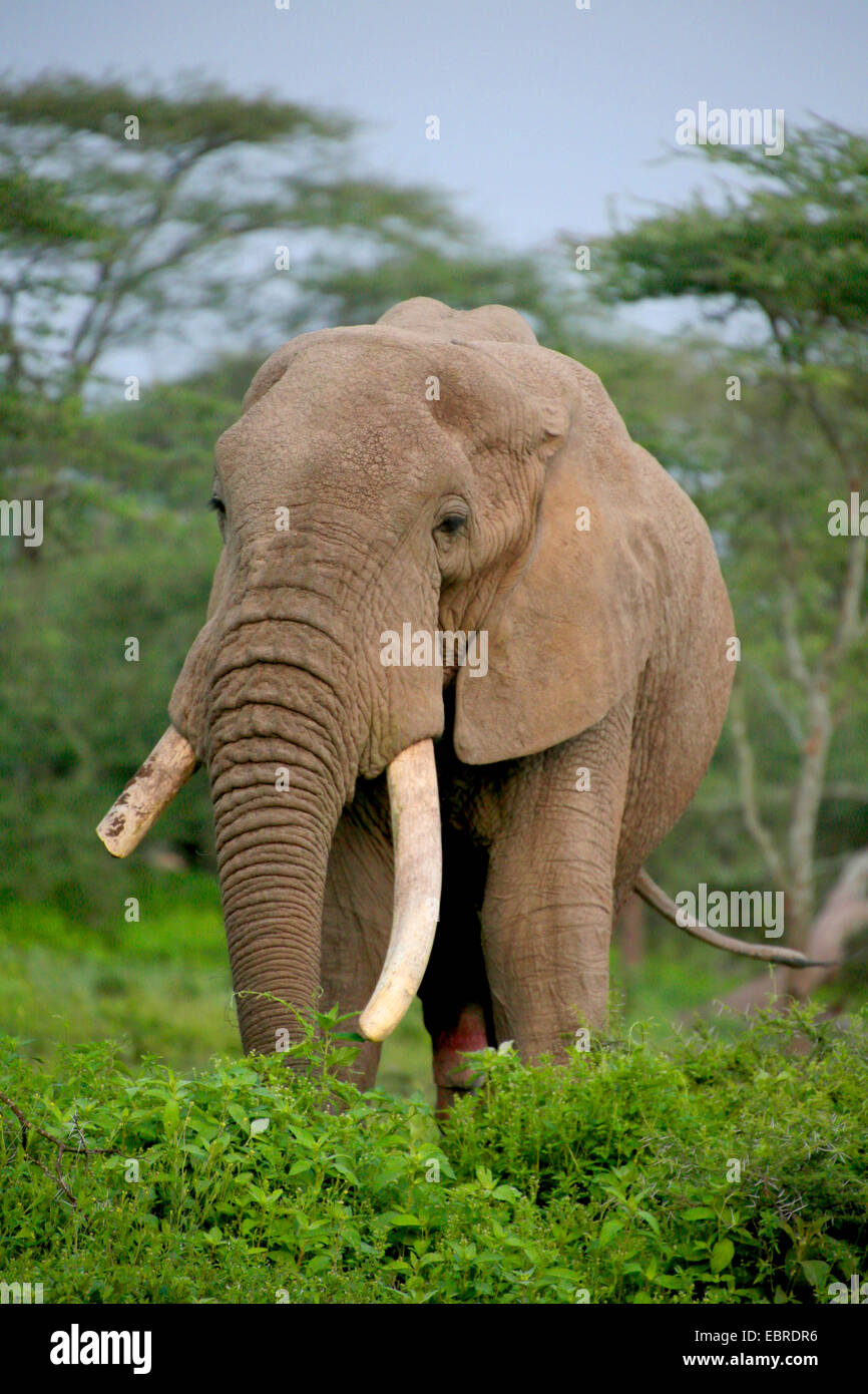African elephant (Loxodonta africana), bull elephant with broken off tusk, Tanzania, Serengeti National Park - Stock Image