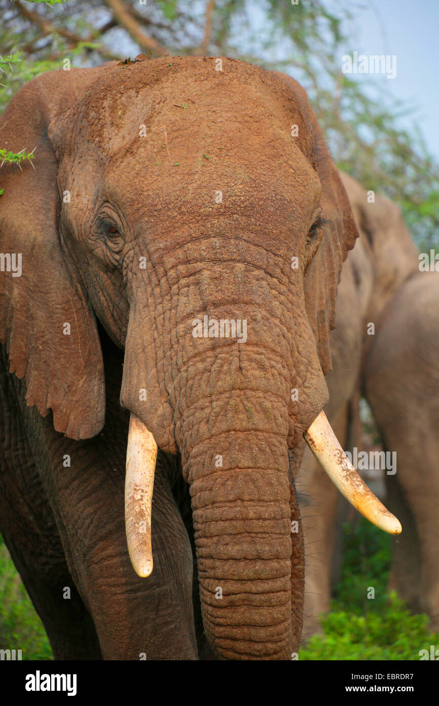 African elephant (Loxodonta africana), portraet, Tanzania, Serengeti National Park - Stock Image