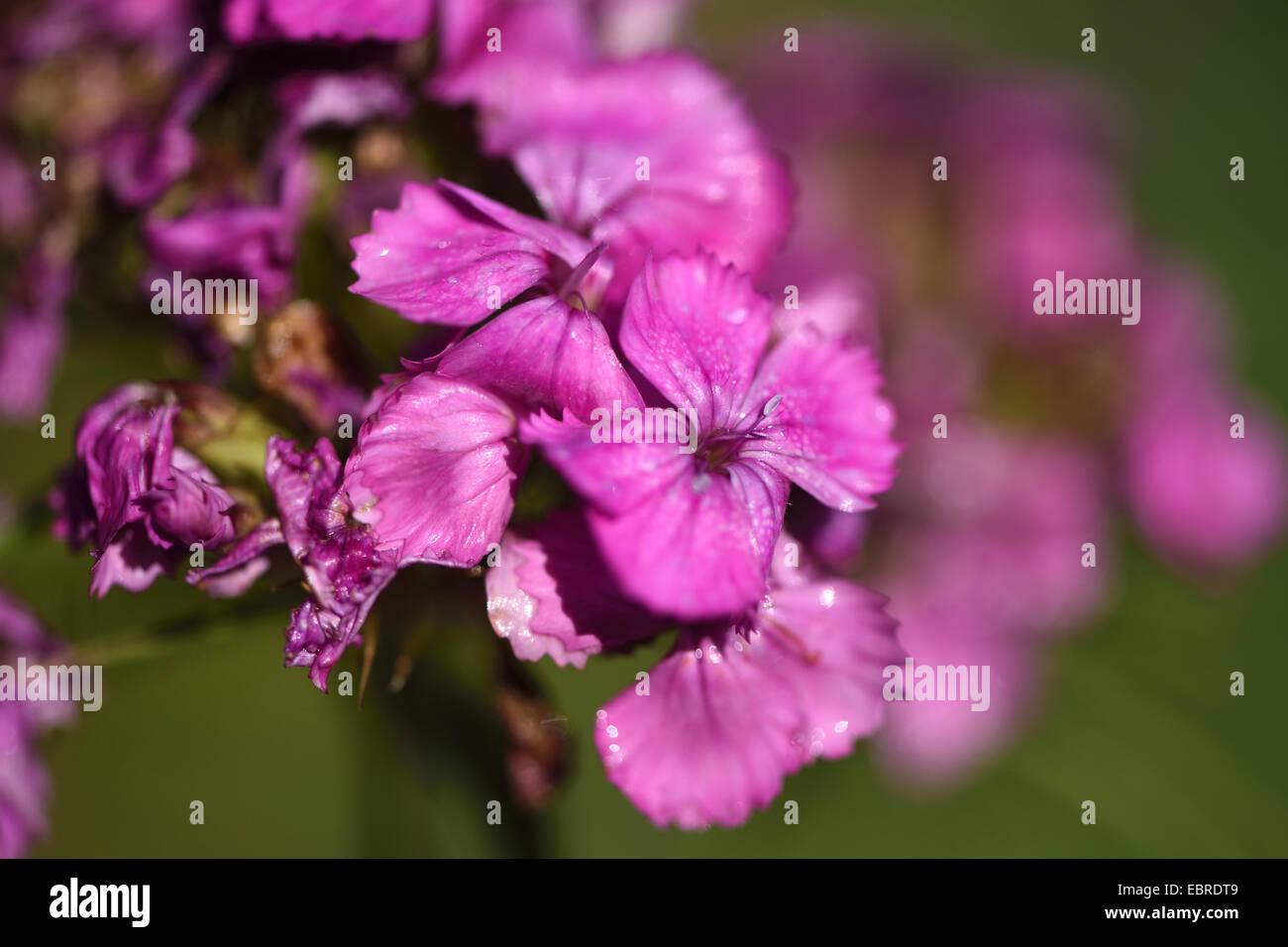 sweet-william (Dianthus barbatus), blooming - Stock Image