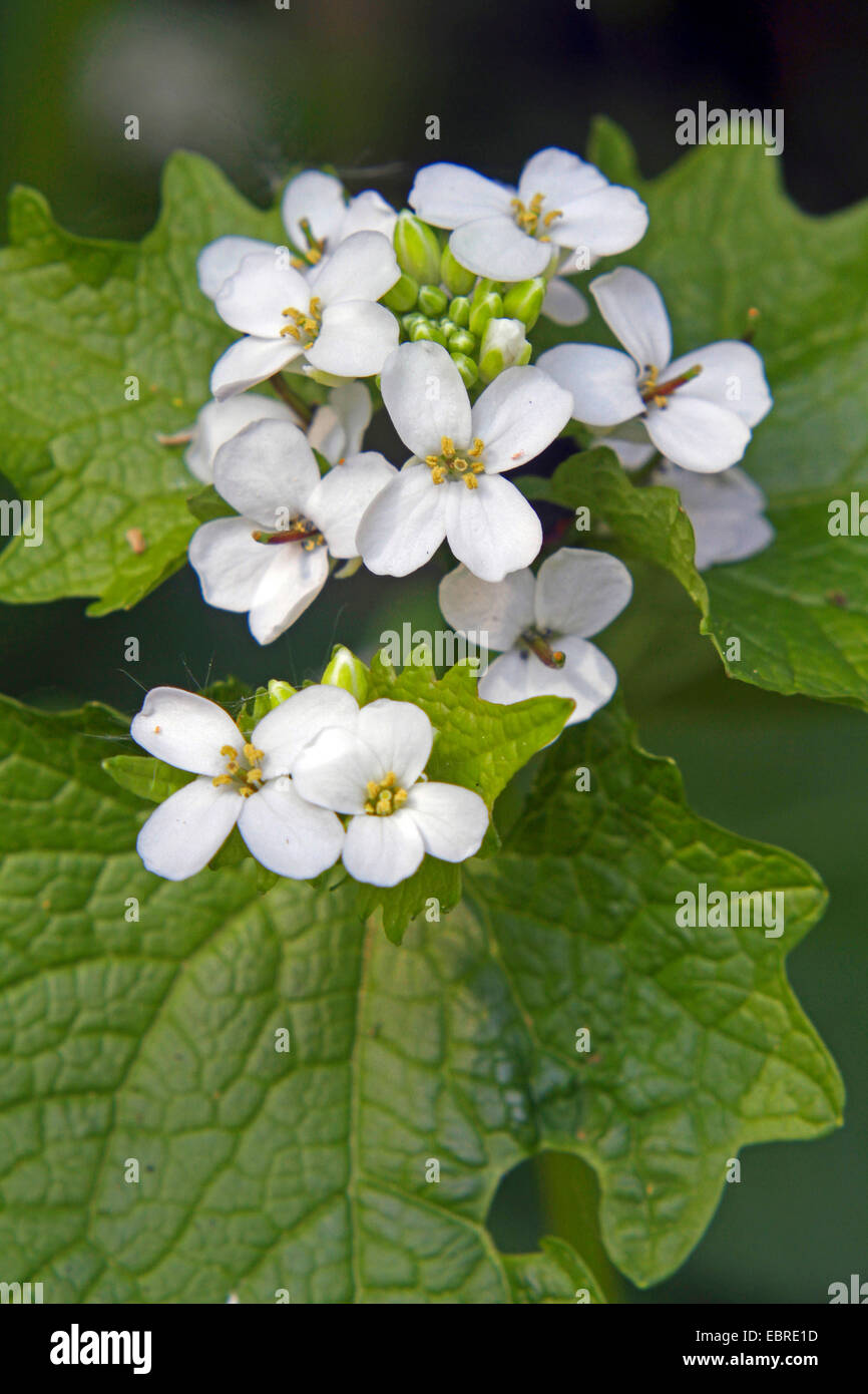 Garlic mustard, Hedge Garlic, Jack-by-the-Hedge (Alliaria petiolata), flowers, Germany Stock Photo