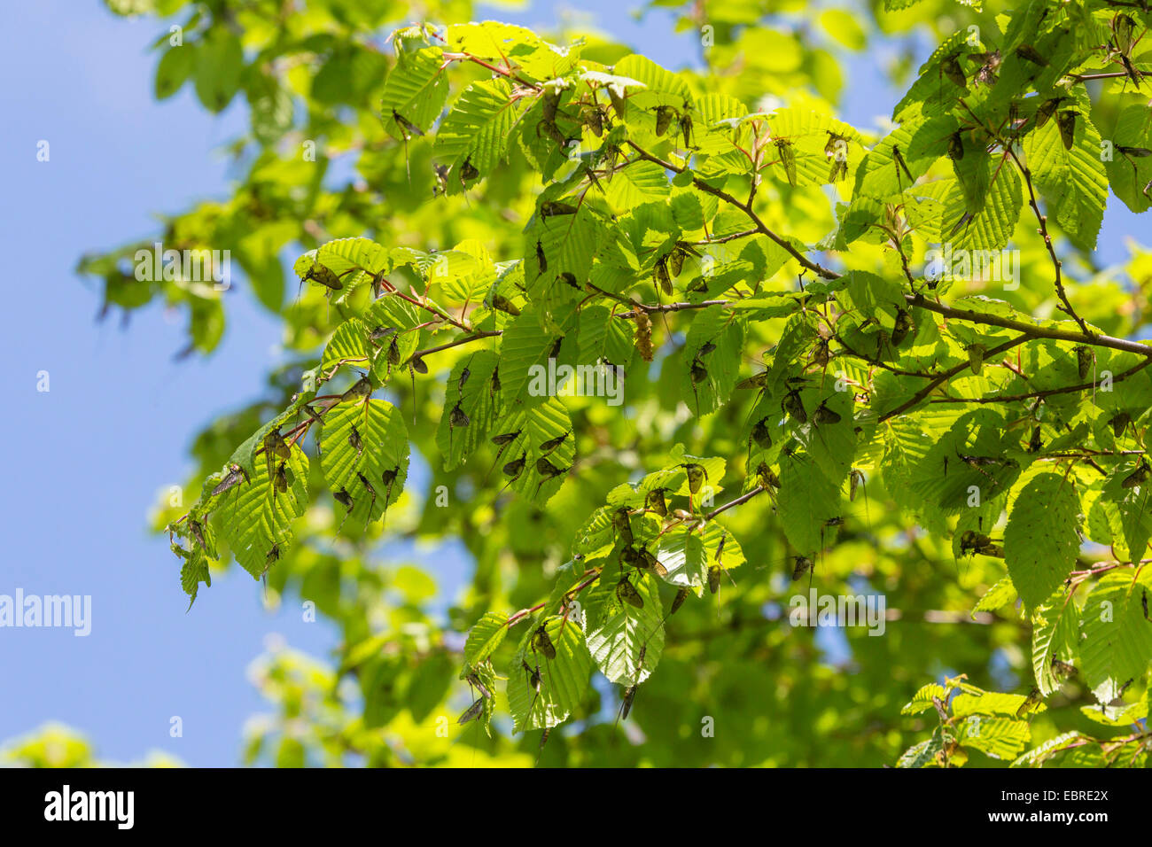 mayfly (cf. Ephemera vulgata), several imagines on leaves of a hornbeam after skinning, Germany, Bavaria - Stock Image