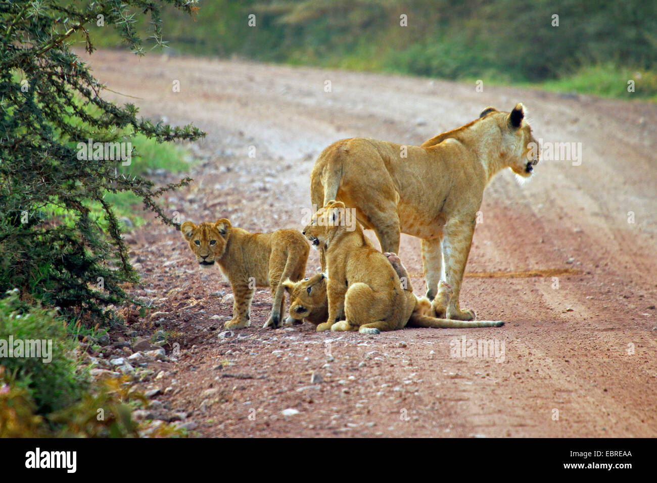 lion (Panthera leo), lioness with three infants on a street, Tanzania, Serengeti National Park - Stock Image