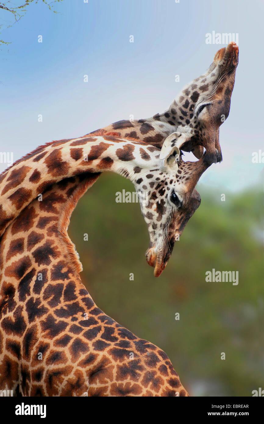 Masai giraffe (Giraffa camelopardalis tippelskirchi), fighting giraffes, Tanzania, Serengeti National Park - Stock Image