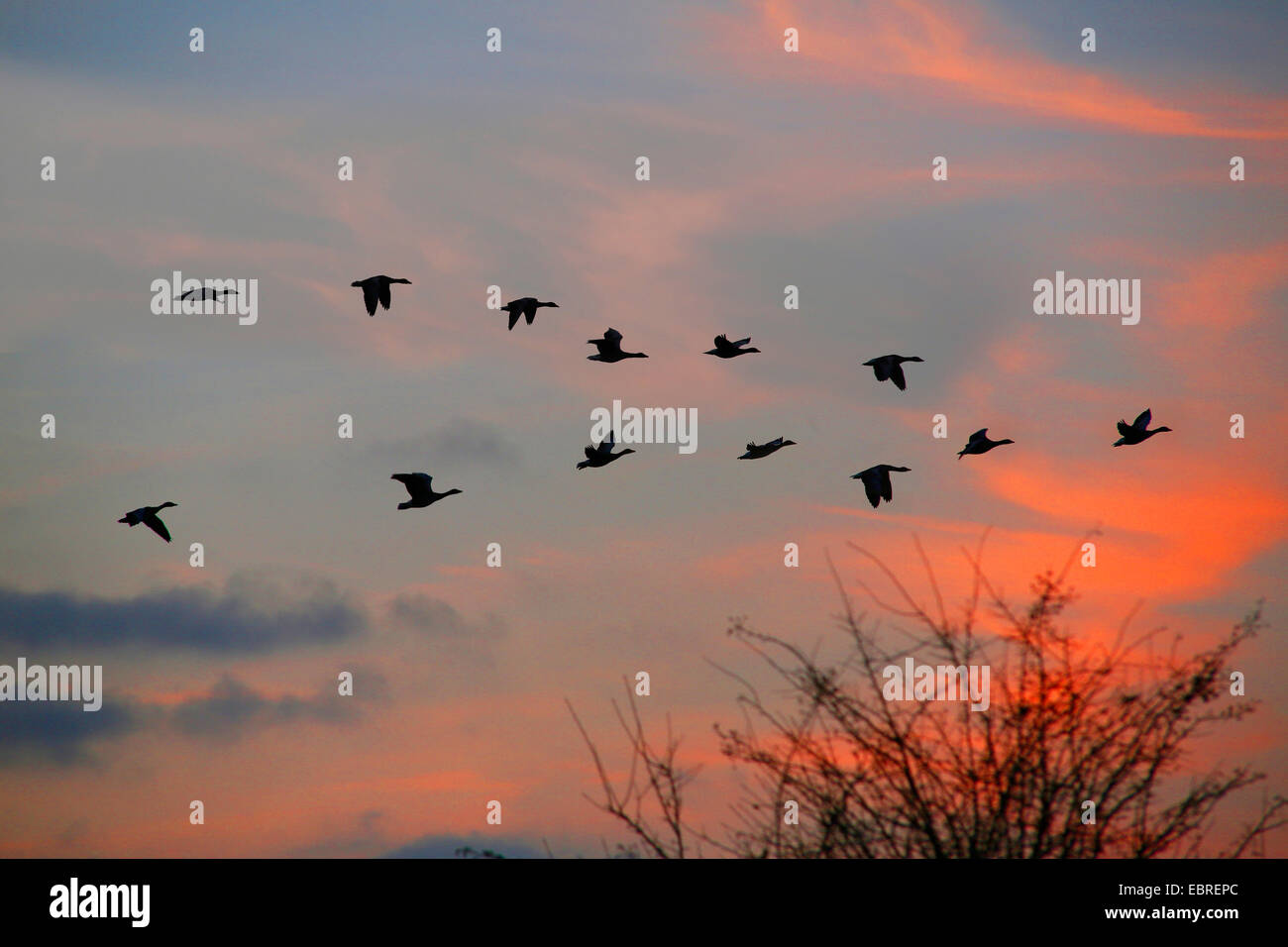 greylag goose (Anser anser), formation flight at sunset, Germany - Stock Image