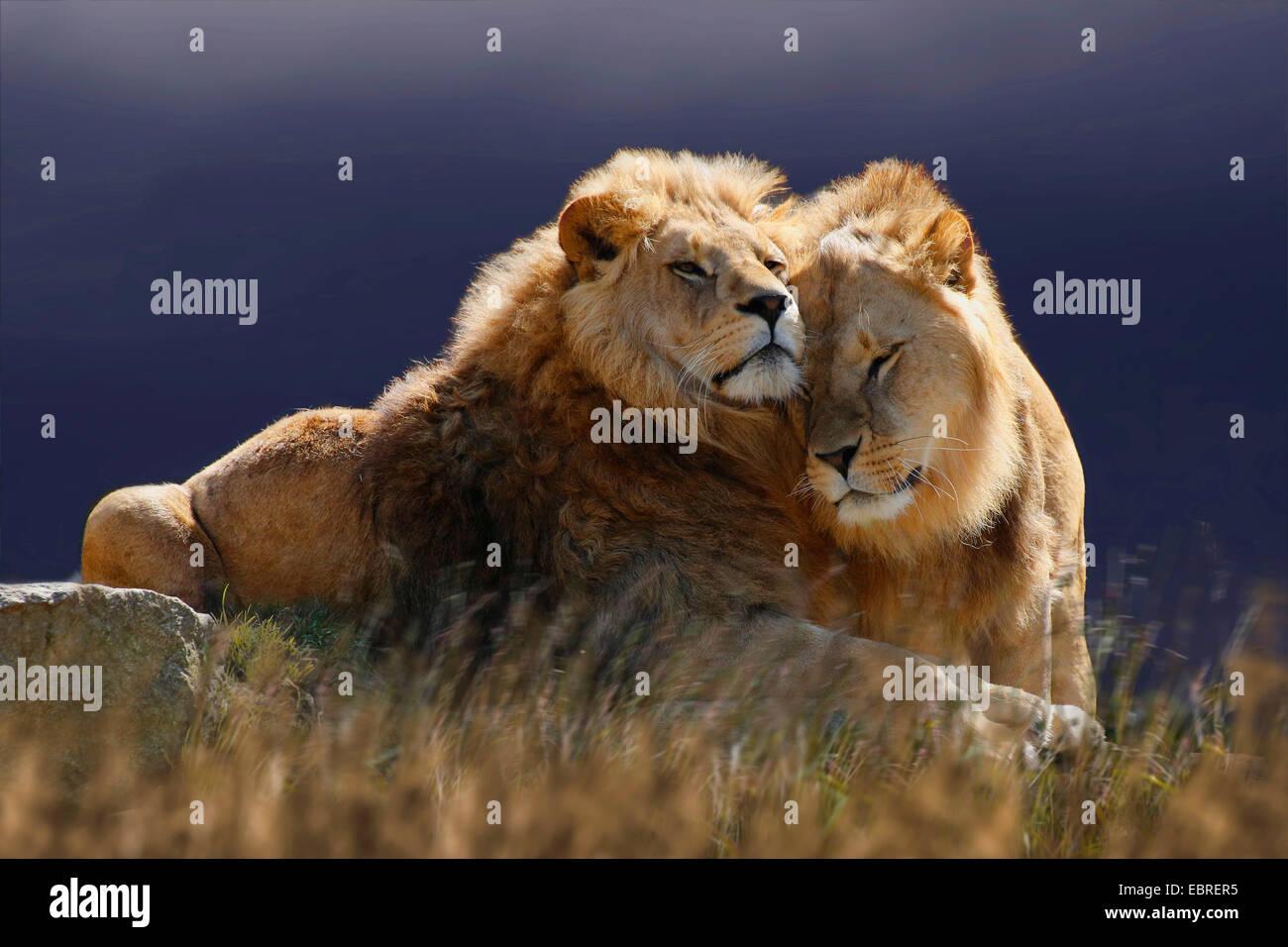lion (Panthera leo), two smooching lions, Tanzania, Serengeti National Park - Stock Image