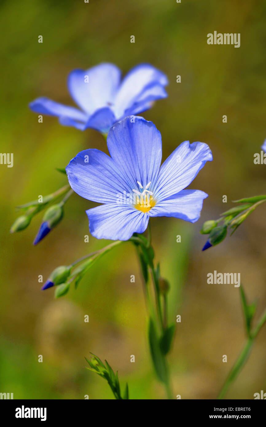 common flax (Linum usitatissimum), flax flowers, Germany - Stock Image