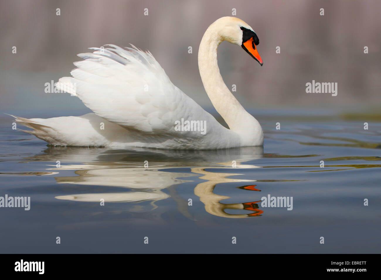 mute swan (Cygnus olor), swimming, Germany - Stock Image