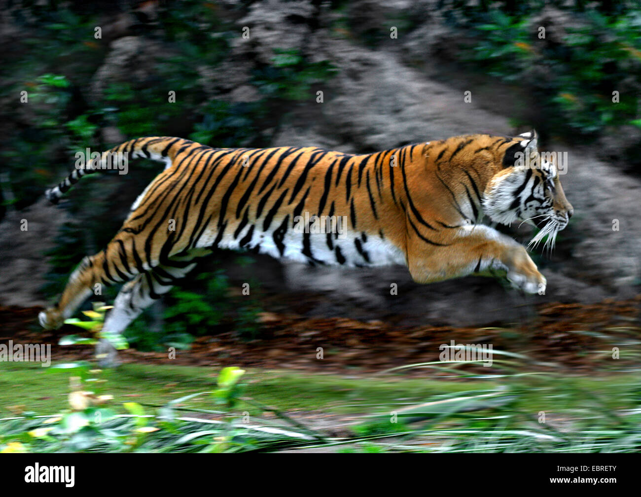 tiger (Panthera tigris), lateral jumping, action - Stock Image