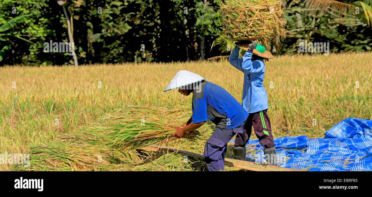 farmers harvesting rice, Indonesia, Bali - Stock Image
