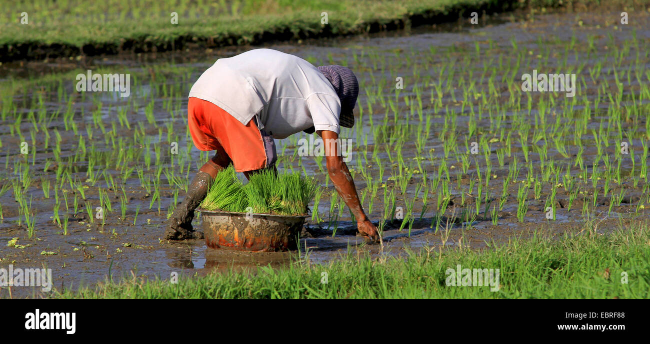 rice cultivation, farmer planting rice, Indonesia, Bali - Stock Image