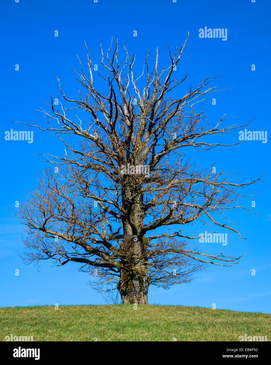 oak (Quercus spec.), partly dead old oak on a knoll, Germany, Bavaria, Oberbayern, Upper Bavaria - Stock Image