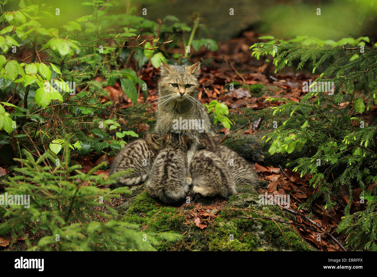 European wildcat, forest wildcat (Felis silvestris silvestris), cat sitting on the forest ground and suckling its - Stock Image