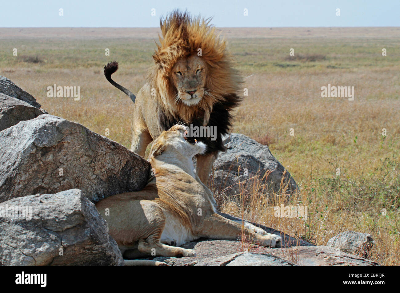 lion (Panthera leo), lion couple on rocks in the savannah, Tanzania, Serengeti National Park Stock Photo