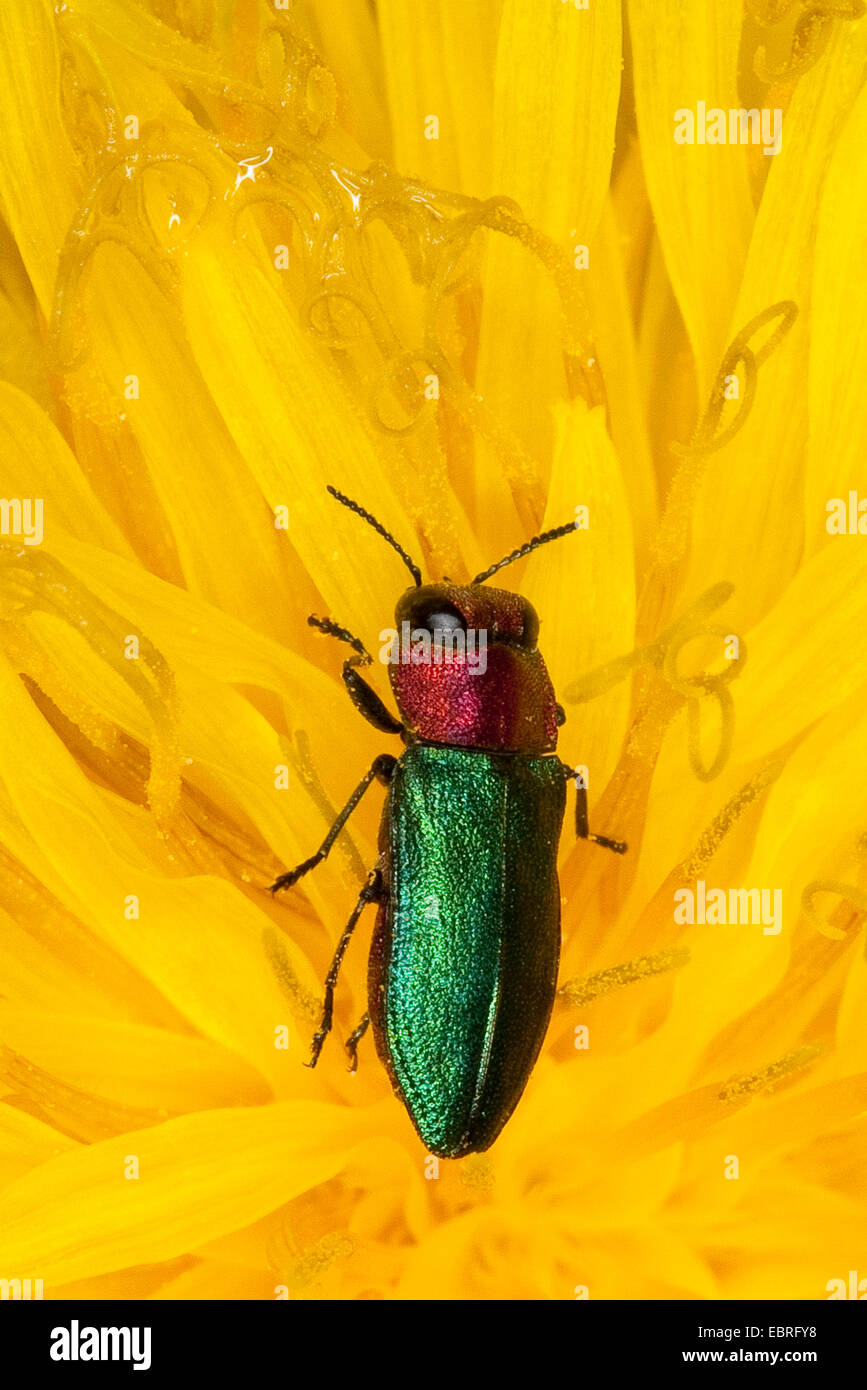 Jewel beetle, Metallic wood-boring beetle (Anthaxia nitidula), female on a dandelion, Germany - Stock Image