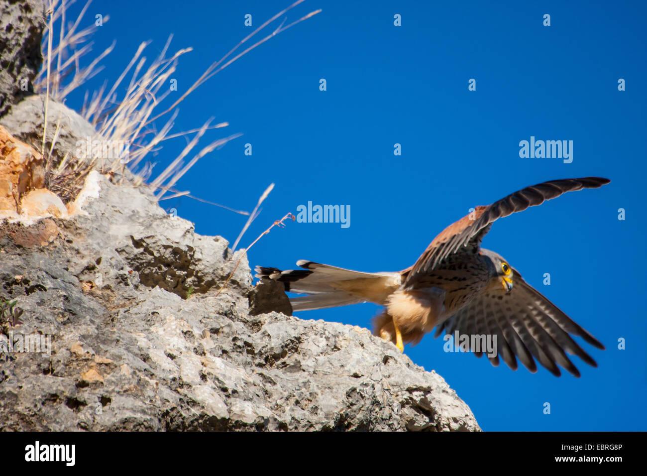 European Kestrel, Eurasian Kestrel, Old World Kestrel, Common Kestrel (Falco tinnunculus), taking off a ledge, Spain, - Stock Image