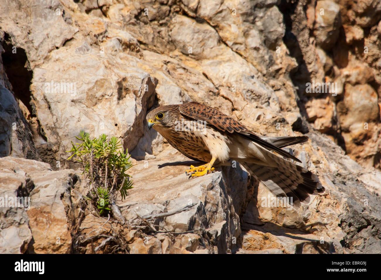 European Kestrel, Eurasian Kestrel, Old World Kestrel, Common Kestrel (Falco tinnunculus), landed on a ledge, Spain, - Stock Image