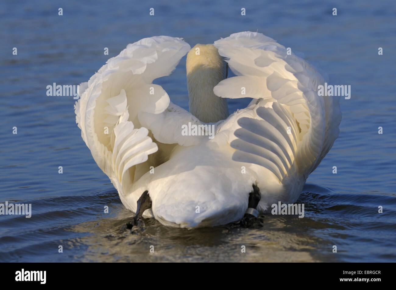 mute swan (Cygnus olor), male with impressing behaviour, Germany, North Rhine-Westphalia - Stock Image