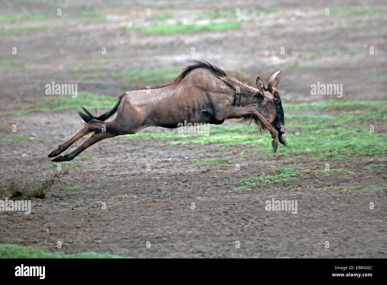 blue wildebeest, brindled gnu, white-bearded wildebeest (Connochaetes taurinus), gnu fleeing, Tanzania, Serengeti - Stock Image