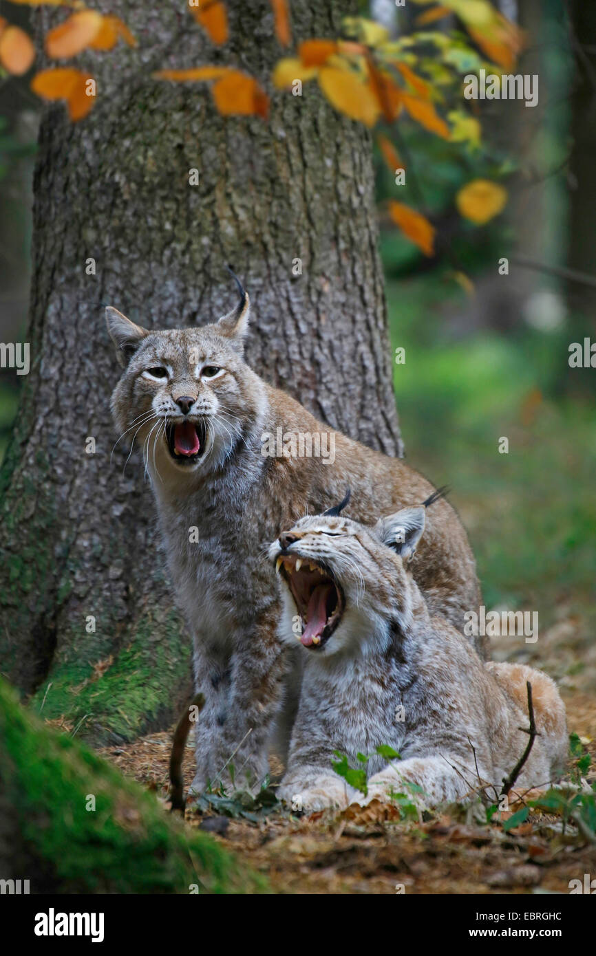 Eurasian lynx (Lynx lynx), Couple, Europe - Stock Image