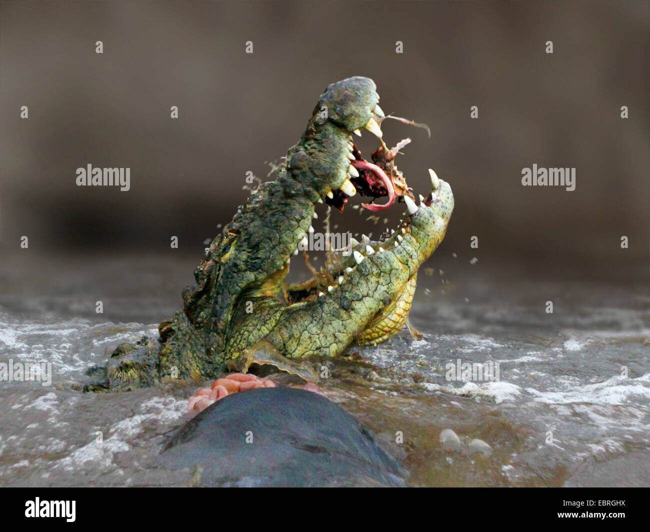 Nile crocodile (Crocodylus niloticus), eating a gnu in the Mara River, lateral portrait, Kenya, Masai Mara National - Stock Image