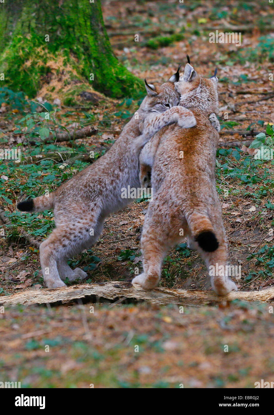 Eurasian lynx (Lynx lynx), pups playing in autumn, Europe - Stock Image