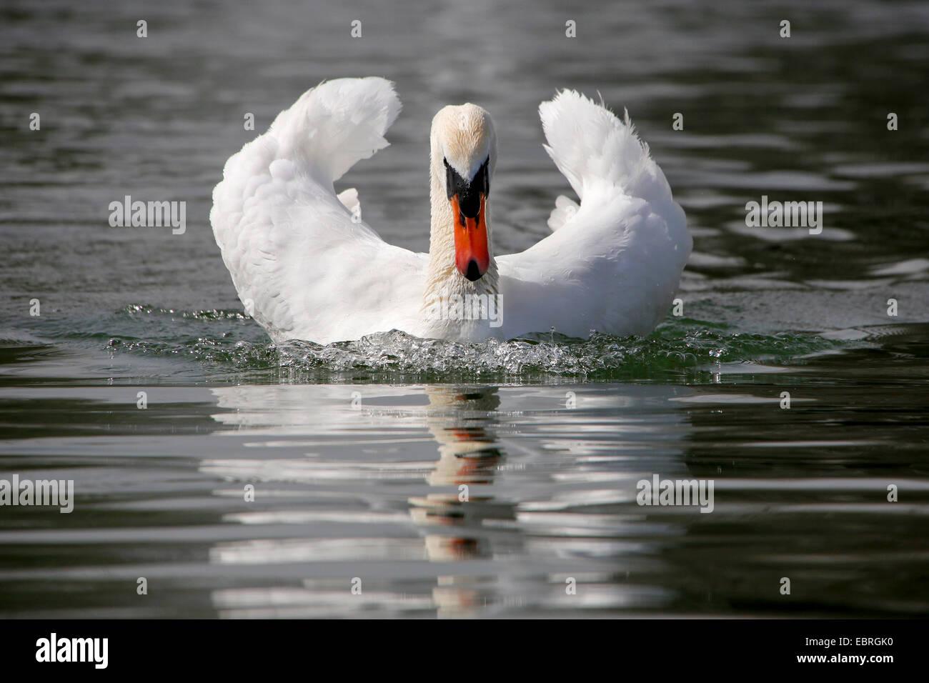 mute swan (Cygnus olor), attacks, Germany - Stock Image