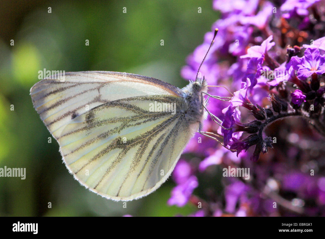 Green-veined white, Green veined white (Pieris napi, Artogeia napi), on lilac flowers, Germany - Stock Image