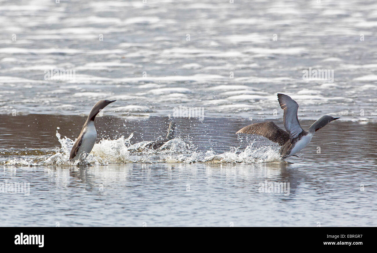 red-throated diver (Gavia stellata), two fighting males, Norway, Troms - Stock Image