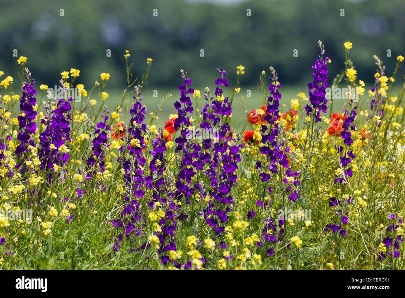 Doubtful knight's-spur, Larkspur, Annual Delphinium (Consolida ajacis, Delphinium ajacis), flowering meadow - Stock Image